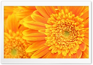 Beautiful Orange Gerbera HD Wide Wallpaper for Widescreen