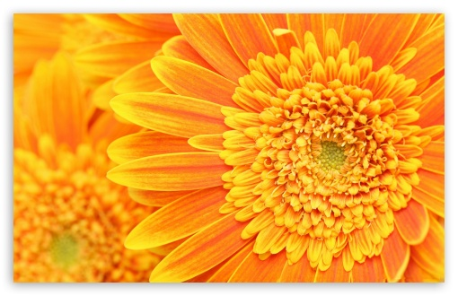 Beautiful Orange Gerbera HD wallpaper for Wide 16:10 5:3 Widescreen WHXGA WQXGA WUXGA WXGA WGA ; HD 16:9 High Definition WQHD QWXGA 1080p 900p 720p QHD nHD ; Standard 4:3 5:4 3:2 Fullscreen UXGA XGA SVGA QSXGA SXGA DVGA HVGA HQVGA devices ( Apple PowerBook G4 iPhone 4 3G 3GS iPod Touch ) ; Tablet 1:1 ; iPad 1/2/Mini ; Mobile 4:3 5:3 3:2 16:9 5:4 - UXGA XGA SVGA WGA DVGA HVGA HQVGA devices ( Apple PowerBook G4 iPhone 4 3G 3GS iPod Touch ) WQHD QWXGA 1080p 900p 720p QHD nHD QSXGA SXGA ;
