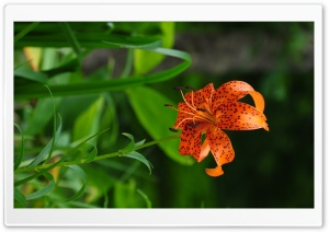 Beautiful Orange Lily HD Wide Wallpaper for Widescreen