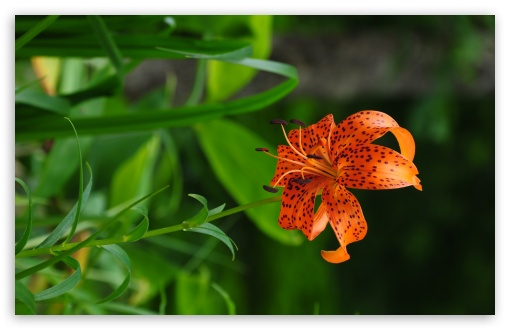 Beautiful Orange Lily HD wallpaper for Wide 16:10 5:3 Widescreen WHXGA WQXGA WUXGA WXGA WGA ; HD 16:9 High Definition WQHD QWXGA 1080p 900p 720p QHD nHD ; UHD 16:9 WQHD QWXGA 1080p 900p 720p QHD nHD ; Standard 4:3 5:4 3:2 Fullscreen UXGA XGA SVGA QSXGA SXGA DVGA HVGA HQVGA devices ( Apple PowerBook G4 iPhone 4 3G 3GS iPod Touch ) ; Tablet 1:1 ; iPad 1/2/Mini ; Mobile 4:3 5:3 3:2 16:9 5:4 - UXGA XGA SVGA WGA DVGA HVGA HQVGA devices ( Apple PowerBook G4 iPhone 4 3G 3GS iPod Touch ) WQHD QWXGA 1080p 900p 720p QHD nHD QSXGA SXGA ; Dual 4:3 5:4 UXGA XGA SVGA QSXGA SXGA ;