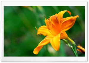Beautiful Orange Lily Flower HD Wide Wallpaper for Widescreen