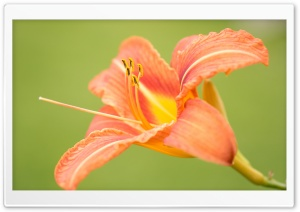Beautiful Orange Lily Flower, Green Background HD Wide Wallpaper for Widescreen