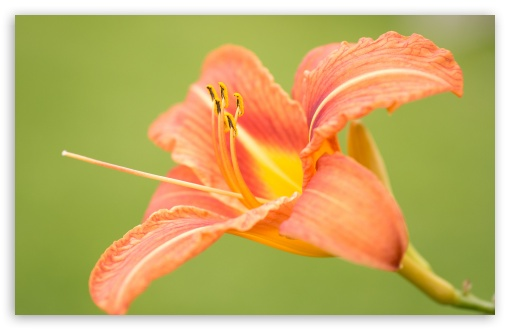 Beautiful Orange Lily Flower, Green Background ❤ 4K UHD Wallpaper for Wide 16:10 5:3 Widescreen WHXGA WQXGA WUXGA WXGA WGA ; 4K UHD 16:9 Ultra High Definition 2160p 1440p 1080p 900p 720p ; Standard 4:3 5:4 3:2 Fullscreen UXGA XGA SVGA QSXGA SXGA DVGA HVGA HQVGA ( Apple PowerBook G4 iPhone 4 3G 3GS iPod Touch ) ; Smartphone 16:9 3:2 5:3 2160p 1440p 1080p 900p 720p DVGA HVGA HQVGA ( Apple PowerBook G4 iPhone 4 3G 3GS iPod Touch ) WGA ; Tablet 1:1 ; iPad 1/2/Mini ; Mobile 4:3 5:3 3:2 16:9 5:4 - UXGA XGA SVGA WGA DVGA HVGA HQVGA ( Apple PowerBook G4 iPhone 4 3G 3GS iPod Touch ) 2160p 1440p 1080p 900p 720p QSXGA SXGA ;