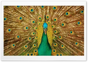 Beautiful Peacock HD Wide Wallpaper for Widescreen