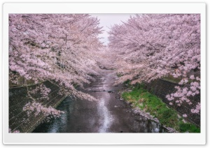 Beautiful Pink Cherry Blossoms HD Wide Wallpaper for Widescreen
