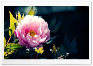 Beautiful Pink Flower HD Wide Wallpaper for Widescreen
