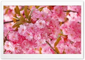Beautiful Pink Japanese Sakura Tree HD Wide Wallpaper for Widescreen
