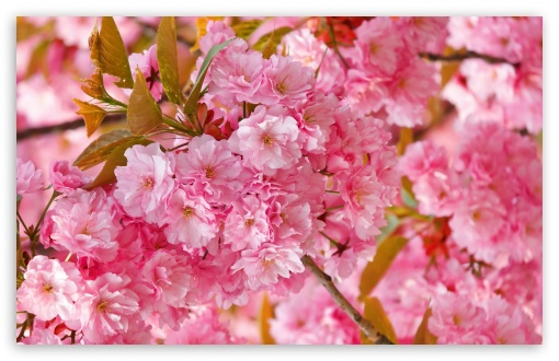 Beautiful Pink Japanese Sakura Tree HD wallpaper for Wide 16:10 5:3 Widescreen WHXGA WQXGA WUXGA WXGA WGA ; HD 16:9 High Definition WQHD QWXGA 1080p 900p 720p QHD nHD ; UHD 16:9 WQHD QWXGA 1080p 900p 720p QHD nHD ; Standard 4:3 5:4 3:2 Fullscreen UXGA XGA SVGA QSXGA SXGA DVGA HVGA HQVGA devices ( Apple PowerBook G4 iPhone 4 3G 3GS iPod Touch ) ; Tablet 1:1 ; iPad 1/2/Mini ; Mobile 4:3 5:3 3:2 16:9 5:4 - UXGA XGA SVGA WGA DVGA HVGA HQVGA devices ( Apple PowerBook G4 iPhone 4 3G 3GS iPod Touch ) WQHD QWXGA 1080p 900p 720p QHD nHD QSXGA SXGA ; Dual 5:4 QSXGA SXGA ;