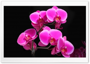 Beautiful Pink Orchid HD Wide Wallpaper for 4K UHD Widescreen desktop & smartphone