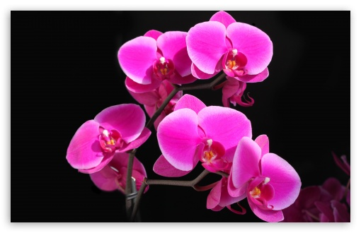 Beautiful Pink Orchid Ultra Hd Desktop Background Wallpaper