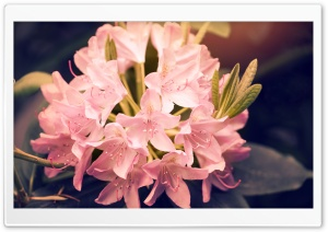 Beautiful Pink Rhododendron Flowers HD Wide Wallpaper for Widescreen