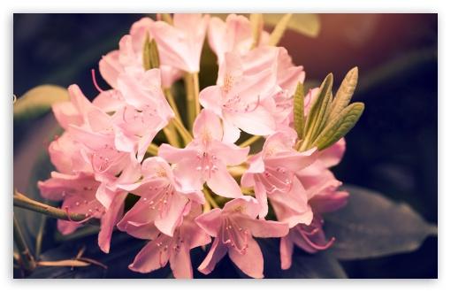 Beautiful Pink Rhododendron Flowers ❤ 4K UHD Wallpaper for Wide 16:10 5:3 Widescreen WHXGA WQXGA WUXGA WXGA WGA ; 4K UHD 16:9 Ultra High Definition 2160p 1440p 1080p 900p 720p ; UHD 16:9 2160p 1440p 1080p 900p 720p ; Standard 4:3 5:4 3:2 Fullscreen UXGA XGA SVGA QSXGA SXGA DVGA HVGA HQVGA ( Apple PowerBook G4 iPhone 4 3G 3GS iPod Touch ) ; Smartphone 5:3 WGA ; Tablet 1:1 ; iPad 1/2/Mini ; Mobile 4:3 5:3 3:2 16:9 5:4 - UXGA XGA SVGA WGA DVGA HVGA HQVGA ( Apple PowerBook G4 iPhone 4 3G 3GS iPod Touch ) 2160p 1440p 1080p 900p 720p QSXGA SXGA ; Dual 16:10 5:3 16:9 4:3 5:4 WHXGA WQXGA WUXGA WXGA WGA 2160p 1440p 1080p 900p 720p UXGA XGA SVGA QSXGA SXGA ;