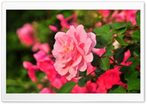 Beautiful Pink Rose HD Wide Wallpaper for Widescreen