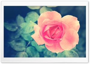 Beautiful Pink Rose in the Garden HD Wide Wallpaper for Widescreen