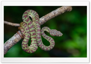 Beautiful Pit Viper Snake HD Wide Wallpaper for 4K UHD Widescreen desktop & smartphone