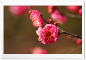 Beautiful Plum Blossoms Blooming HD Wide Wallpaper for Widescreen