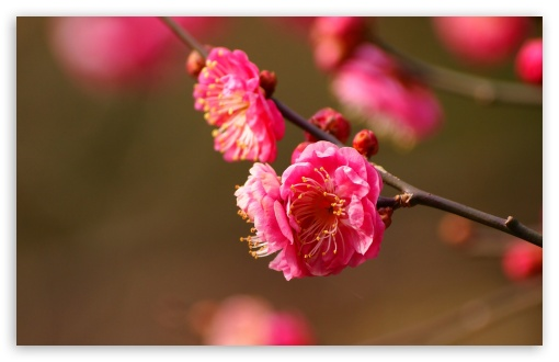 Beautiful Plum Blossoms Blooming HD wallpaper for Wide 16:10 5:3 Widescreen WHXGA WQXGA WUXGA WXGA WGA ; HD 16:9 High Definition WQHD QWXGA 1080p 900p 720p QHD nHD ; Standard 4:3 5:4 3:2 Fullscreen UXGA XGA SVGA QSXGA SXGA DVGA HVGA HQVGA devices ( Apple PowerBook G4 iPhone 4 3G 3GS iPod Touch ) ; Tablet 1:1 ; iPad 1/2/Mini ; Mobile 4:3 5:3 3:2 16:9 5:4 - UXGA XGA SVGA WGA DVGA HVGA HQVGA devices ( Apple PowerBook G4 iPhone 4 3G 3GS iPod Touch ) WQHD QWXGA 1080p 900p 720p QHD nHD QSXGA SXGA ; Dual 16:10 5:3 16:9 4:3 5:4 WHXGA WQXGA WUXGA WXGA WGA WQHD QWXGA 1080p 900p 720p QHD nHD UXGA XGA SVGA QSXGA SXGA ;