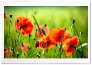 Beautiful Poppies HD Wide Wallpaper for Widescreen