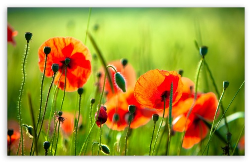 Beautiful Poppies HD wallpaper for Wide 16:10 5:3 Widescreen WHXGA WQXGA WUXGA WXGA WGA ; HD 16:9 High Definition WQHD QWXGA 1080p 900p 720p QHD nHD ; Standard 4:3 5:4 3:2 Fullscreen UXGA XGA SVGA QSXGA SXGA DVGA HVGA HQVGA devices ( Apple PowerBook G4 iPhone 4 3G 3GS iPod Touch ) ; Tablet 1:1 ; iPad 1/2/Mini ; Mobile 4:3 5:3 3:2 16:9 5:4 - UXGA XGA SVGA WGA DVGA HVGA HQVGA devices ( Apple PowerBook G4 iPhone 4 3G 3GS iPod Touch ) WQHD QWXGA 1080p 900p 720p QHD nHD QSXGA SXGA ;