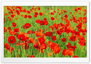 Beautiful Poppies Field HD Wide Wallpaper for Widescreen