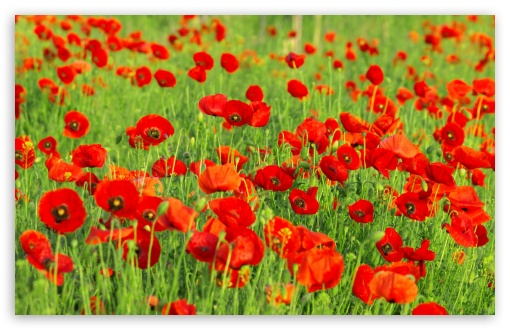 Beautiful Poppies Field HD wallpaper for Wide 16:10 5:3 Widescreen WHXGA WQXGA WUXGA WXGA WGA ; HD 16:9 High Definition WQHD QWXGA 1080p 900p 720p QHD nHD ; Standard 4:3 5:4 3:2 Fullscreen UXGA XGA SVGA QSXGA SXGA DVGA HVGA HQVGA devices ( Apple PowerBook G4 iPhone 4 3G 3GS iPod Touch ) ; Tablet 1:1 ; iPad 1/2/Mini ; Mobile 4:3 5:3 3:2 16:9 5:4 - UXGA XGA SVGA WGA DVGA HVGA HQVGA devices ( Apple PowerBook G4 iPhone 4 3G 3GS iPod Touch ) WQHD QWXGA 1080p 900p 720p QHD nHD QSXGA SXGA ; Dual 16:10 5:3 16:9 4:3 5:4 WHXGA WQXGA WUXGA WXGA WGA WQHD QWXGA 1080p 900p 720p QHD nHD UXGA XGA SVGA QSXGA SXGA ;