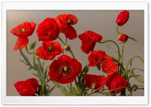 Beautiful Poppies Flowers HD Wide Wallpaper for Widescreen