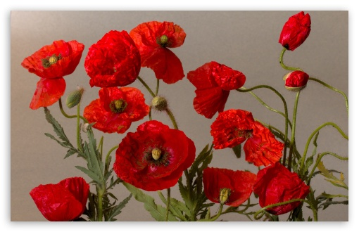 Beautiful Poppies Flowers ❤ 4K UHD Wallpaper for Wide 16:10 5:3 Widescreen WHXGA WQXGA WUXGA WXGA WGA ; UltraWide 21:9 24:10 ; 4K UHD 16:9 Ultra High Definition 2160p 1440p 1080p 900p 720p ; UHD 16:9 2160p 1440p 1080p 900p 720p ; Standard 4:3 5:4 3:2 Fullscreen UXGA XGA SVGA QSXGA SXGA DVGA HVGA HQVGA ( Apple PowerBook G4 iPhone 4 3G 3GS iPod Touch ) ; Smartphone 16:9 3:2 5:3 2160p 1440p 1080p 900p 720p DVGA HVGA HQVGA ( Apple PowerBook G4 iPhone 4 3G 3GS iPod Touch ) WGA ; Tablet 1:1 ; iPad 1/2/Mini ; Mobile 4:3 5:3 3:2 16:9 5:4 - UXGA XGA SVGA WGA DVGA HVGA HQVGA ( Apple PowerBook G4 iPhone 4 3G 3GS iPod Touch ) 2160p 1440p 1080p 900p 720p QSXGA SXGA ; Dual 16:10 5:3 16:9 4:3 5:4 3:2 WHXGA WQXGA WUXGA WXGA WGA 2160p 1440p 1080p 900p 720p UXGA XGA SVGA QSXGA SXGA DVGA HVGA HQVGA ( Apple PowerBook G4 iPhone 4 3G 3GS iPod Touch ) ; Triple 16:10 5:3 16:9 4:3 5:4 3:2 WHXGA WQXGA WUXGA WXGA WGA 2160p 1440p 1080p 900p 720p UXGA XGA SVGA QSXGA SXGA DVGA HVGA HQVGA ( Apple PowerBook G4 iPhone 4 3G 3GS iPod Touch ) ;