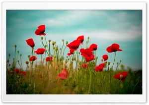 Beautiful Poppy Field HD Wide Wallpaper for Widescreen