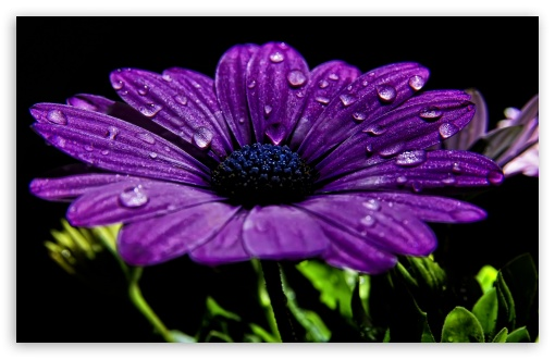 Beautiful Purple Flower HD wallpaper for Wide 16:10 5:3 Widescreen WHXGA WQXGA WUXGA WXGA WGA ; HD 16:9 High Definition WQHD QWXGA 1080p 900p 720p QHD nHD ; Standard 4:3 5:4 3:2 Fullscreen UXGA XGA SVGA QSXGA SXGA DVGA HVGA HQVGA devices ( Apple PowerBook G4 iPhone 4 3G 3GS iPod Touch ) ; iPad 1/2/Mini ; Mobile 4:3 5:3 3:2 16:9 5:4 - UXGA XGA SVGA WGA DVGA HVGA HQVGA devices ( Apple PowerBook G4 iPhone 4 3G 3GS iPod Touch ) WQHD QWXGA 1080p 900p 720p QHD nHD QSXGA SXGA ;