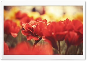 Beautiful Red Flowers HD Wide Wallpaper for Widescreen