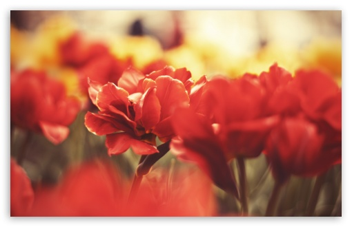 Beautiful Red Flowers HD wallpaper for Wide 16:10 5:3 Widescreen WHXGA WQXGA WUXGA WXGA WGA ; HD 16:9 High Definition WQHD QWXGA 1080p 900p 720p QHD nHD ; Standard 4:3 5:4 3:2 Fullscreen UXGA XGA SVGA QSXGA SXGA DVGA HVGA HQVGA devices ( Apple PowerBook G4 iPhone 4 3G 3GS iPod Touch ) ; Tablet 1:1 ; iPad 1/2/Mini ; Mobile 4:3 5:3 3:2 16:9 5:4 - UXGA XGA SVGA WGA DVGA HVGA HQVGA devices ( Apple PowerBook G4 iPhone 4 3G 3GS iPod Touch ) WQHD QWXGA 1080p 900p 720p QHD nHD QSXGA SXGA ;