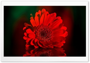 Beautiful Red Gerbera Daisy HD Wide Wallpaper for 4K UHD Widescreen desktop & smartphone