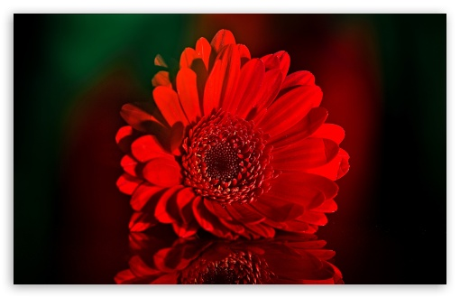 Beautiful Red Gerbera Daisy ❤ 4K UHD Wallpaper for Wide 16:10 5:3 Widescreen WHXGA WQXGA WUXGA WXGA WGA ; 4K UHD 16:9 Ultra High Definition 2160p 1440p 1080p 900p 720p ; UHD 16:9 2160p 1440p 1080p 900p 720p ; Standard 4:3 5:4 3:2 Fullscreen UXGA XGA SVGA QSXGA SXGA DVGA HVGA HQVGA ( Apple PowerBook G4 iPhone 4 3G 3GS iPod Touch ) ; Smartphone 5:3 WGA ; Tablet 1:1 ; iPad 1/2/Mini ; Mobile 4:3 5:3 3:2 16:9 5:4 - UXGA XGA SVGA WGA DVGA HVGA HQVGA ( Apple PowerBook G4 iPhone 4 3G 3GS iPod Touch ) 2160p 1440p 1080p 900p 720p QSXGA SXGA ;