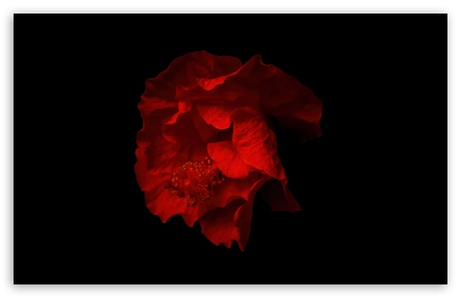 Beautiful Red Hibiscus Flower, Black Background UltraHD Wallpaper for Wide 16:10 5:3 Widescreen WHXGA WQXGA WUXGA WXGA WGA ; UltraWide 21:9 24:10 ; 8K UHD TV 16:9 Ultra High Definition 2160p 1440p 1080p 900p 720p ; UHD 16:9 2160p 1440p 1080p 900p 720p ; Standard 4:3 5:4 3:2 Fullscreen UXGA XGA SVGA QSXGA SXGA DVGA HVGA HQVGA ( Apple PowerBook G4 iPhone 4 3G 3GS iPod Touch ) ; Smartphone 16:9 3:2 5:3 2160p 1440p 1080p 900p 720p DVGA HVGA HQVGA ( Apple PowerBook G4 iPhone 4 3G 3GS iPod Touch ) WGA ; Tablet 1:1 ; iPad 1/2/Mini ; Mobile 4:3 5:3 3:2 16:9 5:4 - UXGA XGA SVGA WGA DVGA HVGA HQVGA ( Apple PowerBook G4 iPhone 4 3G 3GS iPod Touch ) 2160p 1440p 1080p 900p 720p QSXGA SXGA ;