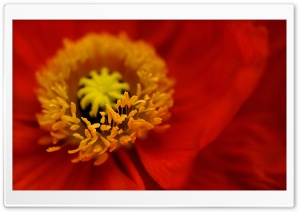 Beautiful Red Iceland Poppy Flower Ultra HD Wallpaper for 4K UHD Widescreen desktop, tablet & smartphone