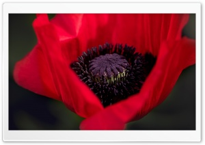 Beautiful Red Poppy HD Wide Wallpaper for Widescreen