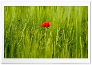 Beautiful Red Poppy, Green Wheat Field HD Wide Wallpaper for Widescreen