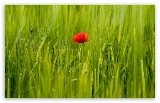 Beautiful Red Poppy, Green Wheat Field ❤ 4K UHD Wallpaper for Wide 16:10 5:3 Widescreen WHXGA WQXGA WUXGA WXGA WGA ; 4K UHD 16:9 Ultra High Definition 2160p 1440p 1080p 900p 720p ; Standard 4:3 5:4 3:2 Fullscreen UXGA XGA SVGA QSXGA SXGA DVGA HVGA HQVGA ( Apple PowerBook G4 iPhone 4 3G 3GS iPod Touch ) ; Tablet 1:1 ; iPad 1/2/Mini ; Mobile 4:3 5:3 3:2 16:9 5:4 - UXGA XGA SVGA WGA DVGA HVGA HQVGA ( Apple PowerBook G4 iPhone 4 3G 3GS iPod Touch ) 2160p 1440p 1080p 900p 720p QSXGA SXGA ;