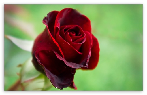 Beautiful Red Rose ❤ 4K UHD Wallpaper for Wide 16:10 5:3 Widescreen WHXGA WQXGA WUXGA WXGA WGA ; 4K UHD 16:9 Ultra High Definition 2160p 1440p 1080p 900p 720p ; Standard 4:3 5:4 3:2 Fullscreen UXGA XGA SVGA QSXGA SXGA DVGA HVGA HQVGA ( Apple PowerBook G4 iPhone 4 3G 3GS iPod Touch ) ; Tablet 1:1 ; iPad 1/2/Mini ; Mobile 4:3 5:3 3:2 16:9 5:4 - UXGA XGA SVGA WGA DVGA HVGA HQVGA ( Apple PowerBook G4 iPhone 4 3G 3GS iPod Touch ) 2160p 1440p 1080p 900p 720p QSXGA SXGA ;