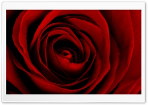 Beautiful Red Rose HD Wide Wallpaper for Widescreen