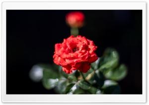 Beautiful Red Rose Ultra HD Wallpaper for 4K UHD Widescreen desktop, tablet & smartphone