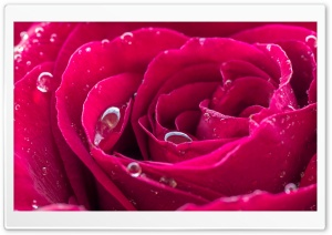 Beautiful Red Rose Dew Drops HD Wide Wallpaper for 4K UHD Widescreen desktop & smartphone