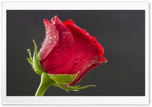 Beautiful Red Rose, Drops of Water HD Wide Wallpaper for Widescreen