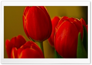 Beautiful Red Tulips HD Wide Wallpaper for Widescreen