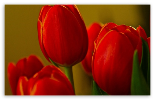 Beautiful Red Tulips ❤ 4K UHD Wallpaper for Wide 16:10 5:3 Widescreen WHXGA WQXGA WUXGA WXGA WGA ; 4K UHD 16:9 Ultra High Definition 2160p 1440p 1080p 900p 720p ; Standard 4:3 5:4 3:2 Fullscreen UXGA XGA SVGA QSXGA SXGA DVGA HVGA HQVGA ( Apple PowerBook G4 iPhone 4 3G 3GS iPod Touch ) ; Smartphone 5:3 WGA ; Tablet 1:1 ; iPad 1/2/Mini ; Mobile 4:3 5:3 3:2 16:9 5:4 - UXGA XGA SVGA WGA DVGA HVGA HQVGA ( Apple PowerBook G4 iPhone 4 3G 3GS iPod Touch ) 2160p 1440p 1080p 900p 720p QSXGA SXGA ;