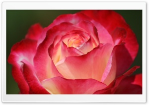 Beautiful Rose HD Wide Wallpaper for Widescreen