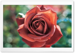 Beautiful Rose 1 HD Wide Wallpaper for Widescreen