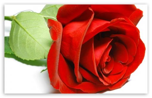 Beautiful Rose 4k Hd Desktop Wallpaper For 4k Ultra Hd Tv