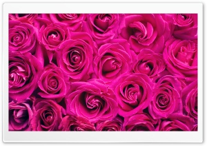 Beautiful Roses Flowers Background HD Wide Wallpaper for Widescreen
