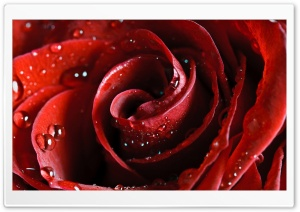 Beautiful Scarlet Rose HD Wide Wallpaper for 4K UHD Widescreen desktop & smartphone